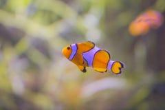 Coral Reel Fish anaranjada en el ` s de Tailandia debajo del mar imagenes de archivo