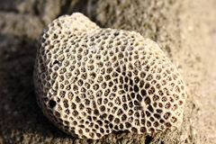 Coral Rock Royalty Free Stock Photo