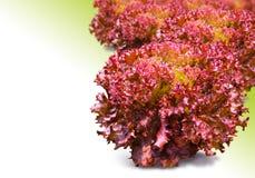 Coral rojo Fotos de archivo