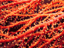 Coral rojo anaranjado fotografía de archivo libre de regalías