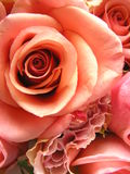 Coral rose. Photograph of a very beautiful; coral colored rose in full bloom Stock Photos