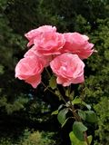 Coral Rose Cluster fotografia stock