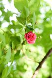Coral rose flower in roses garden. Top view. Soft focus stock photo