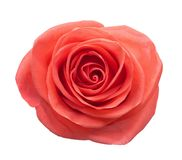 Coral Rose isolated on white background.  royalty free stock photos