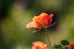 Coral Rose met Waterdalingen royalty-vrije stock foto's