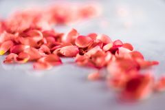 coral rose petals on marble, color of the year - flower backgrounds, holidays and floral art concept royalty free stock photo