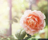Coral rose at sunset Light Royalty Free Stock Photography