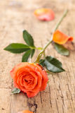 Coral rose on table. Stock Photo