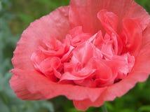 Coral ruffled poppy flower royalty free stock photos
