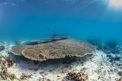 Coral saudável da tabela Fotos de Stock Royalty Free