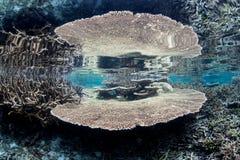 Coral saudável e frágil da tabela em Raja Ampat Foto de Stock
