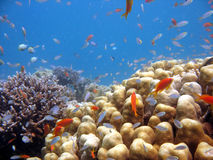 Coral Scene. A beautiful picture of a coral reef teeming with life. shot in the Red Sea royalty free stock photos