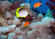 Coral scene Royalty Free Stock Image