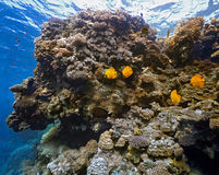 Coral scene -panorama Royalty Free Stock Image