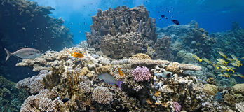 Coral scene - panorama Stock Photography