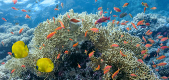 Free Coral Scene - Panorama Royalty Free Stock Photography - 28161657