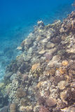 Coral scene at Red Sea Royalty Free Stock Photography