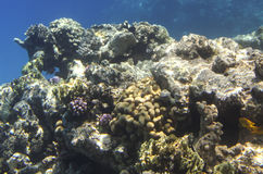 Coral scene at Red Sea Stock Image