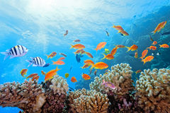 Coral scene on the reef Stock Photography