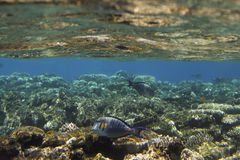 Coral scene with tropical fish at Red Sea Royalty Free Stock Image