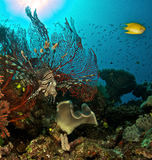 Coral and scorpion fish Royalty Free Stock Photo