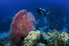 Coral and scuba diver Royalty Free Stock Photography