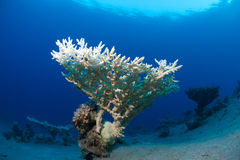 Coral in the sea Stock Photography