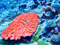 Coral Sea, Bali, Indonesia. One Coral Sea, Bali, Indonesia Royalty Free Stock Photo