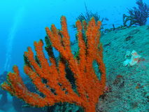 Coral on the Sea Emperor. This coral is on the Sea Emperor at about 65 feet in Pompano beach, Florida stock images
