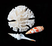Coral and seashells. A white coral and two seashells on black background Royalty Free Stock Photography