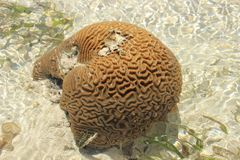 The coral is shaped like a brain. Kenya, Mombasa royalty free stock photos