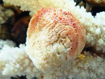 Coral Shell royalty free stock photo
