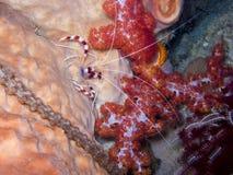 Coral Shrimp legata 2 immagine stock libera da diritti
