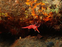 Coral shrimp Stock Images