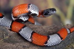 Coral snake Royalty Free Stock Photos
