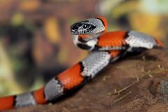 Coral snake Royalty Free Stock Images