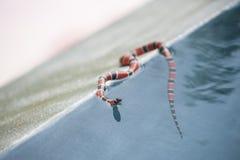 Coral Snake fotografia stock
