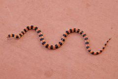 Coral Snake. Colors - Sonora semiannulata, a mimic serpent Royalty Free Stock Images