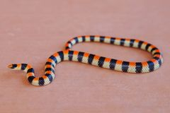 Coral Snake colors. Sonora semiannulata, a mimic serpent Royalty Free Stock Image