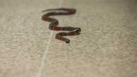Coral Snake Lying Still op Vloer, Costa Rica Zoo stock footage
