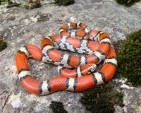 Coral Snake mimic Royalty Free Stock Photos
