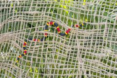 Coral Snake. A Coral snake slithering through netting stock photography