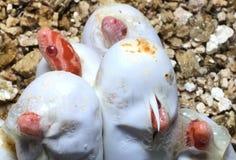 Coral Snow Baby Snake Hatching d'où oeufs Photo libre de droits
