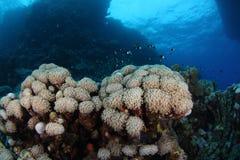 Coral sob o barco - recife Egipto do St John Fotografia de Stock Royalty Free