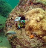 Coral and some Fish. Beautiful coral mound with some fish swimming around shape off the south Florida coast Stock Image