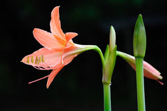 Coral star lily Royalty Free Stock Images