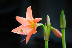Coral star lily Stock Images