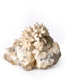 Coral on stone Stock Images