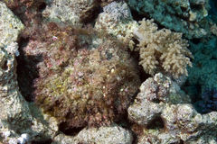 Coral and stonefish Royalty Free Stock Photo