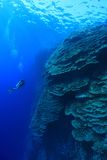 Coral structure in the red sea. Coral structure and scuba diver in the tropical reef of the red sea Royalty Free Stock Photo